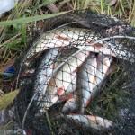 Рыба пойманная на рыбалке в Золоче
